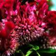 Красивый цветок амаранта